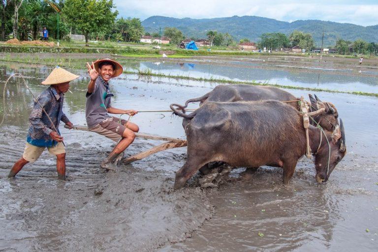 Wisatawan diajak membajak sawah menggunakan sapi oleh pemandu di Desa Wisata Kebonagung, Bantul