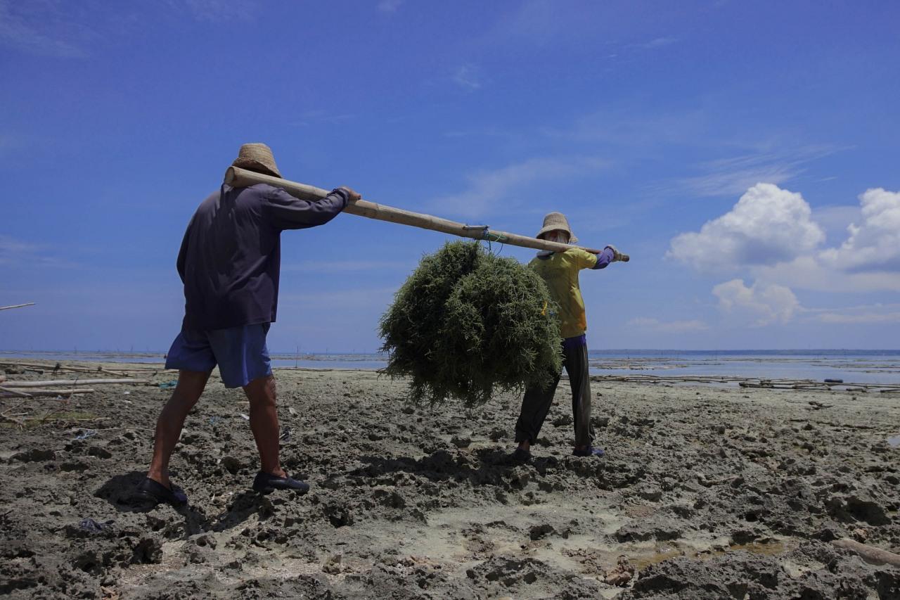 Rumput Laut Desa Saronggi, Madura
